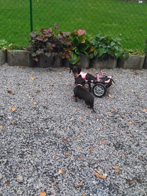 Betty Boo und Motte - zwei Dackel mit Handicap