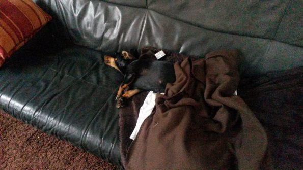 Dackel auf Sofa