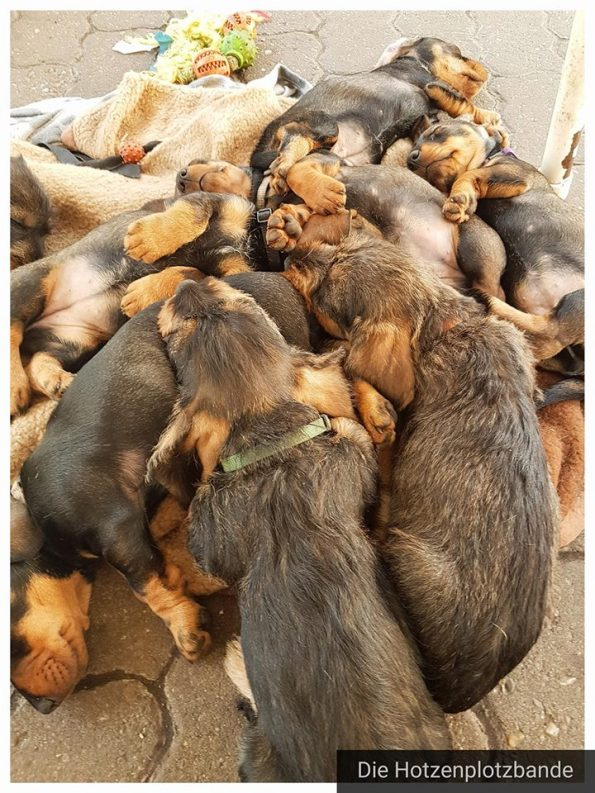 Dackelwelpen-Hundehaufen