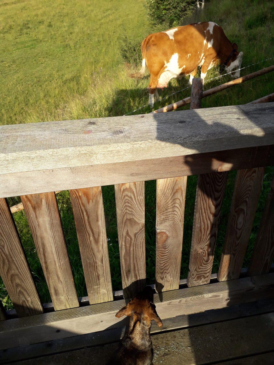 Dackel beobachtet Kuh.